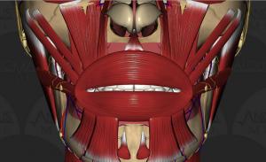Les muscles de la bouche (Crédit : anomalousmedical)